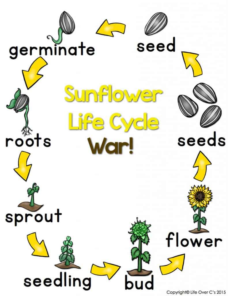 ... of the sunflower life cycle. Great for a life cycle unit or for fall