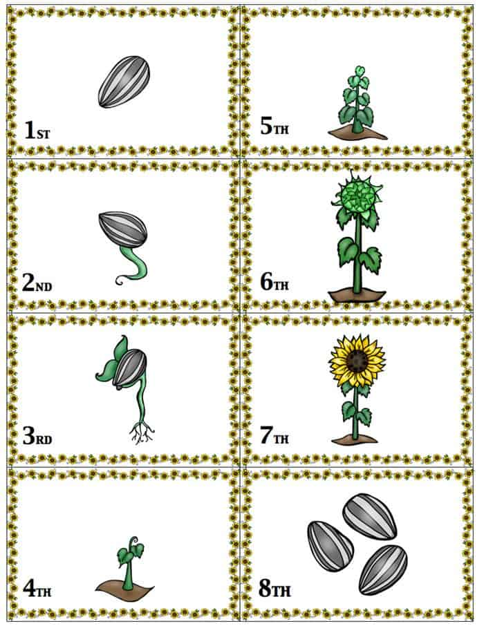 This sunflower life cycle sequencing game is so much fun!! Kids play to see who is further along in the stages of the sunflower life cycle. Great for a life cycle unit or for fall!