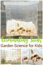 Germinating seeds in a bag plant science experiment for kids