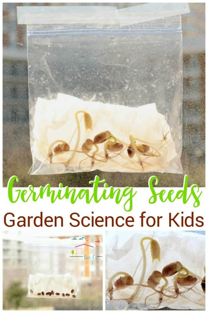 Kids will love sprouting their own seeds in a plastic baggie! With just a few materials, kids can watch seeds sprout by germinating seeds in a bag.