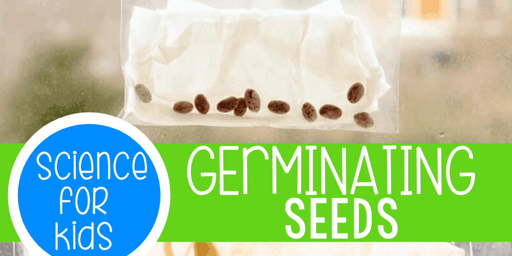 Kids will love sprouting their own seeds in a plastic baggie!