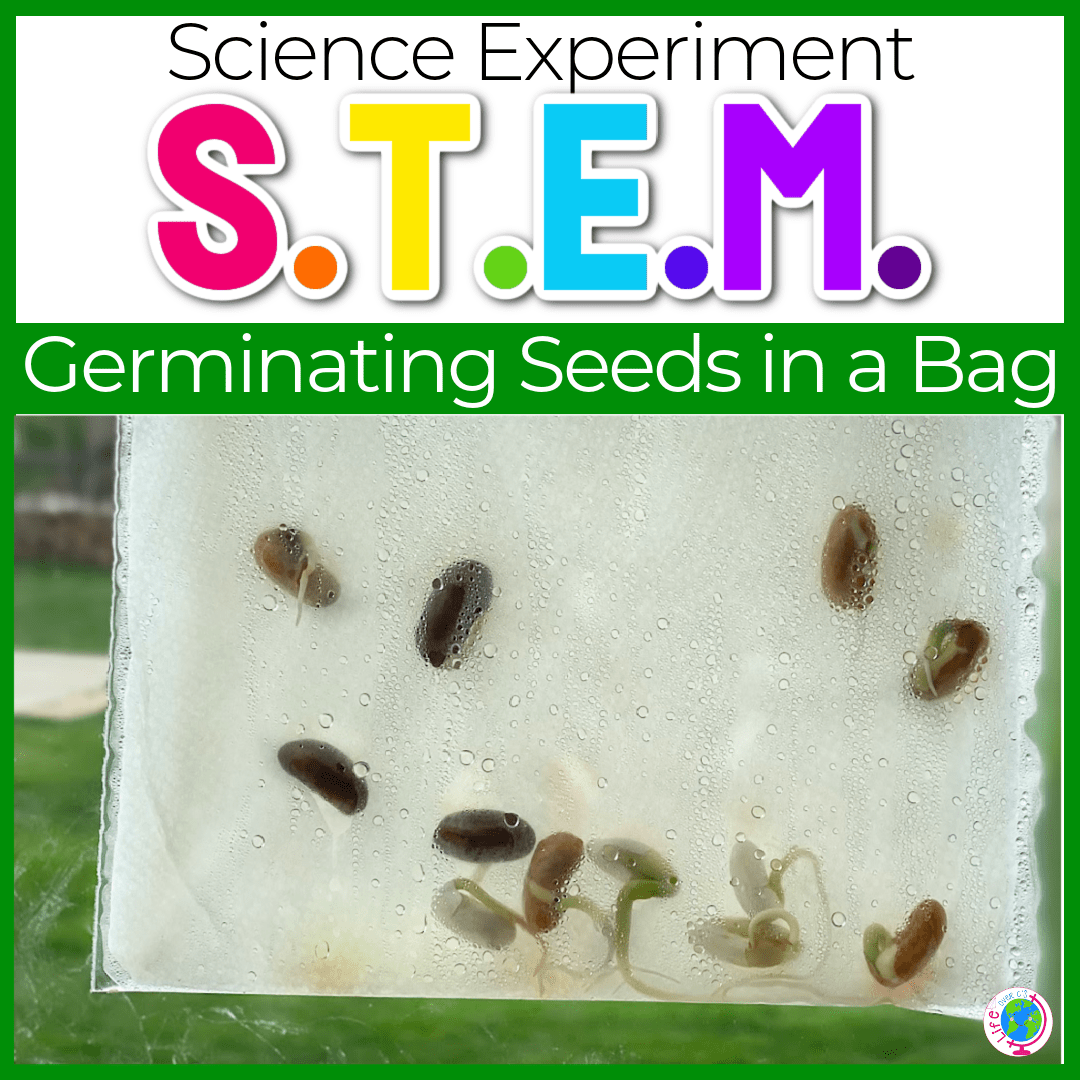 Germinating Seeds in a Bag: Science Experiment for Kids